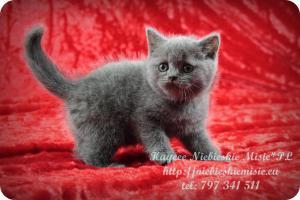 Kaycee Niebieskie Misie-koty brytyjskie (24)