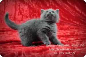Kaycee Niebieskie Misie-koty brytyjskie (3)
