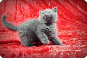 Kaycee Niebieskie Misie-koty brytyjskie (4)