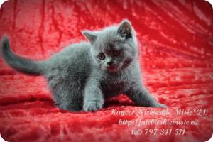 Kaycee Niebieskie Misie-koty brytyjskie (5)