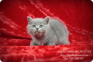 Kaylee Niebieskie Misie-koty brytyjskie (1)