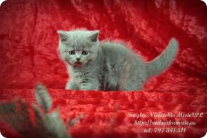 Kaylee Niebieskie Misie-koty brytyjskie (3)