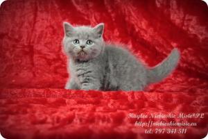 Kaylee Niebieskie Misie-koty brytyjskie (4)