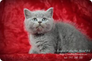 Kaylee Niebieskie Misie-koty brytyjskie (5)