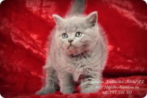 Kaylee Niebieskie Misie-koty brytyjskie (6)