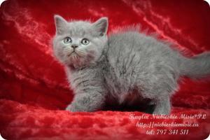 Kaylee Niebieskie Misie-koty brytyjskie (2)