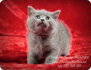 Keeli Niebieskie Misie-koty brytyjskie (1)