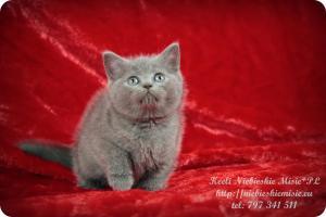 Keeli Niebieskie Misie-koty brytyjskie (10)