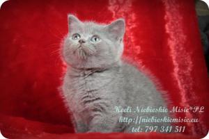 Keeli Niebieskie Misie-koty brytyjskie (11)