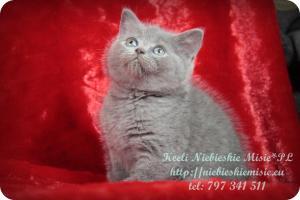 Keeli Niebieskie Misie-koty brytyjskie (12)