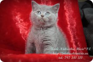 Keeli Niebieskie Misie-koty brytyjskie (13)