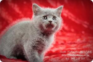 Keeli Niebieskie Misie-koty brytyjskie (14)