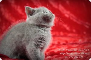 Keeli Niebieskie Misie-koty brytyjskie (15)