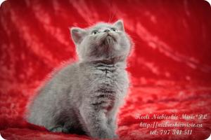 Keeli Niebieskie Misie-koty brytyjskie (16)