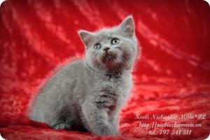 Keeli Niebieskie Misie-koty brytyjskie (17)
