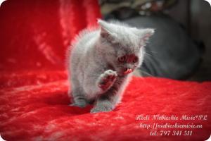 Keeli Niebieskie Misie-koty brytyjskie (18)