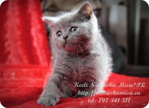 Keeli Niebieskie Misie-koty brytyjskie (20)