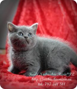 Keeli Niebieskie Misie-koty brytyjskie (22)