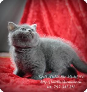 Keeli Niebieskie Misie-koty brytyjskie (23)