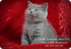 Keeli Niebieskie Misie-koty brytyjskie (24)