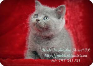 Keeli Niebieskie Misie-koty brytyjskie (25)