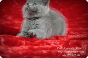 Keeli Niebieskie Misie-koty brytyjskie (26)