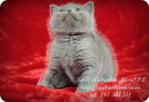 Keeli Niebieskie Misie-koty brytyjskie (27)