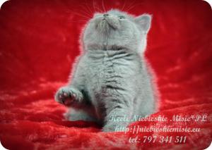 Keeli Niebieskie Misie-koty brytyjskie (28)