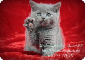 Keeli Niebieskie Misie-koty brytyjskie (29)