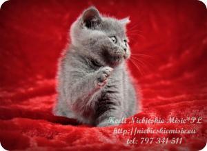 Keeli Niebieskie Misie-koty brytyjskie (30)
