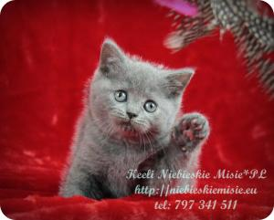 Keeli Niebieskie Misie-koty brytyjskie (31)