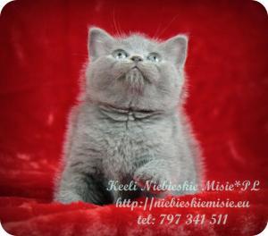 Keeli Niebieskie Misie-koty brytyjskie (32)