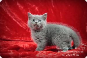 Keeli Niebieskie Misie-koty brytyjskie (4)