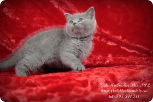 Keeli Niebieskie Misie-koty brytyjskie (6)