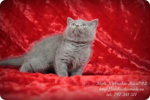 Keeli Niebieskie Misie-koty brytyjskie (7)
