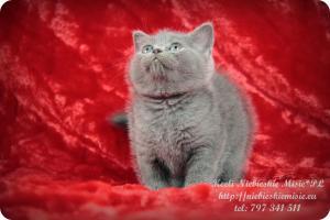 Keeli Niebieskie Misie-koty brytyjskie (8)