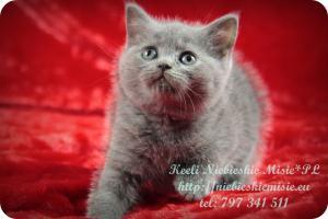 Keeli Niebieskie Misie-koty brytyjskie (2)