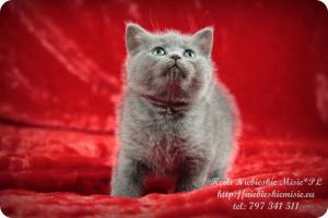 Keeli Niebieskie Misie-koty brytyjskie (3)