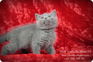Keeli Niebieskie Misie-koty brytyjskie (5)