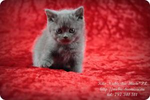 Kito Niebieskie Misie-koty brytyjskie (10)