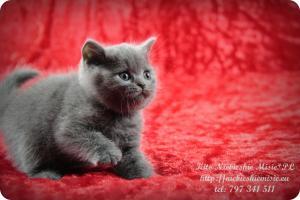 Kito Niebieskie Misie-koty brytyjskie (11)