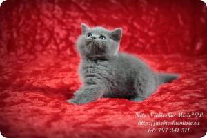Kito Niebieskie Misie-koty brytyjskie (14)