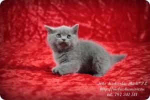 Kito Niebieskie Misie-koty brytyjskie (15)