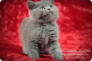 Kito Niebieskie Misie-koty brytyjskie (7)