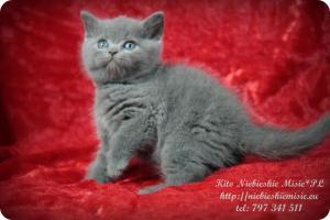 Kito Niebieskie Misie-koty brytyjskie (9)