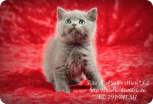 Kito Niebieskie Misie-koty brytyjskie (1)