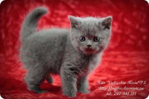 Kito Niebieskie Misie-koty brytyjskie (12)