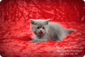 Kito Niebieskie Misie-koty brytyjskie (13)