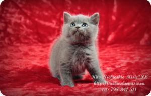 Kito Niebieskie Misie-koty brytyjskie (2)