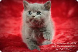 Kito Niebieskie Misie-koty brytyjskie (3)